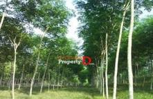 LP63110001-Land for sale 51 rai 1 ngan 3 square wah, Mueang Yasothon.